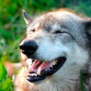 quien-teme-al-lobo-feliz